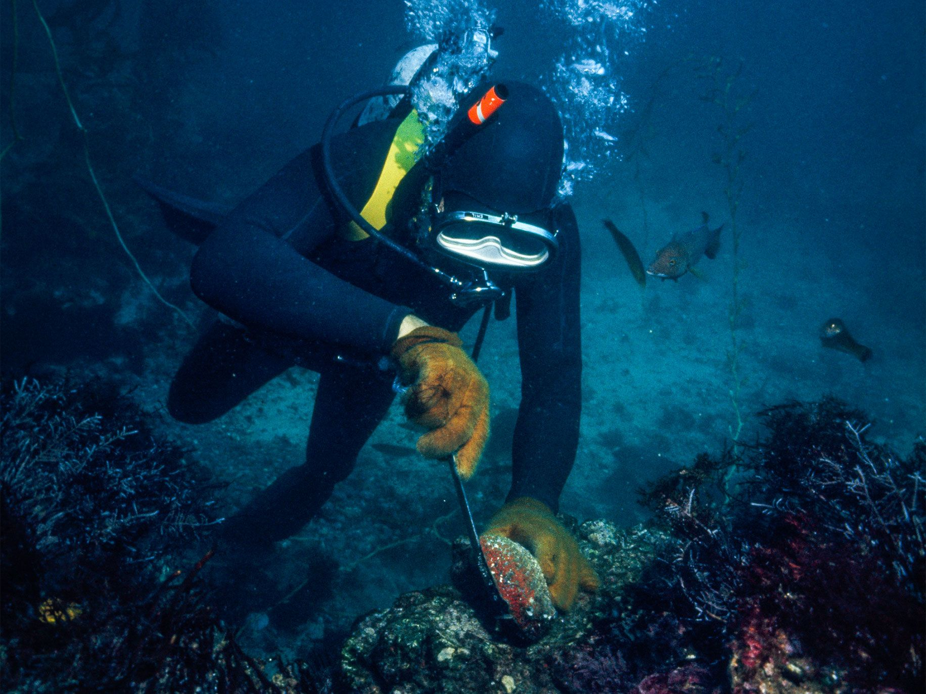 A diver pries an abalone off of a barnacle-encrusted rock. Worried about declining abalone populations, officials have banned diving for abalone.