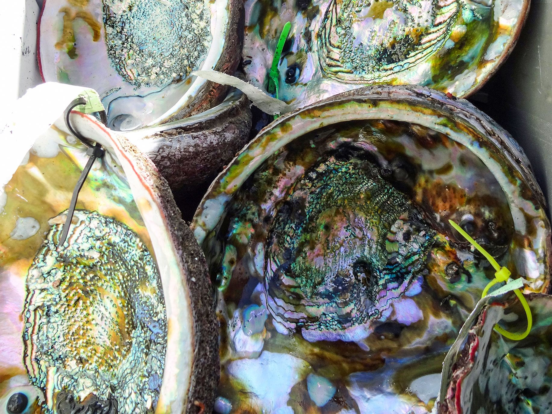 The brilliant iridescence of abalone shells have made them popular with artists, decorators and souvenir collectors.