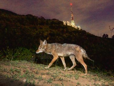 One of Los Angeles' urban coyotes passing by the Hollywood sign in Griffith Park.
