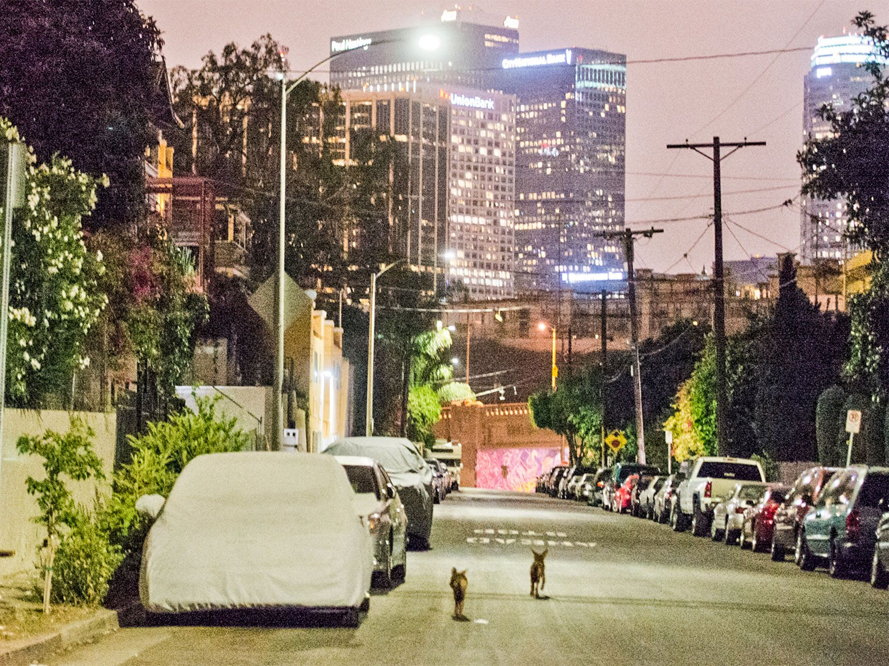 Increasingly brazen and unafraid of human contact, a pair of coyotes walk down a street in Los Angeles.