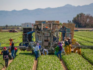 Farm workers harvest spinach near Coachella. President Donald Trump's crackdown on immigration could worsen the state's shortage of agricultural labor.