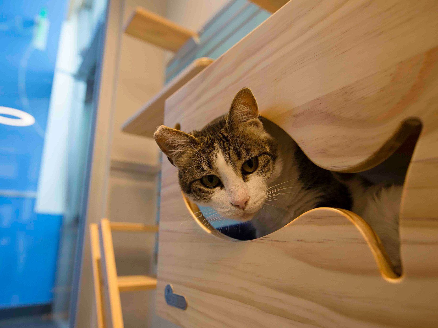 A cat waiting for adoption peeks out from a fish-shaped cut-out at Wallis Annenberg PetSpace in Los Angeles.