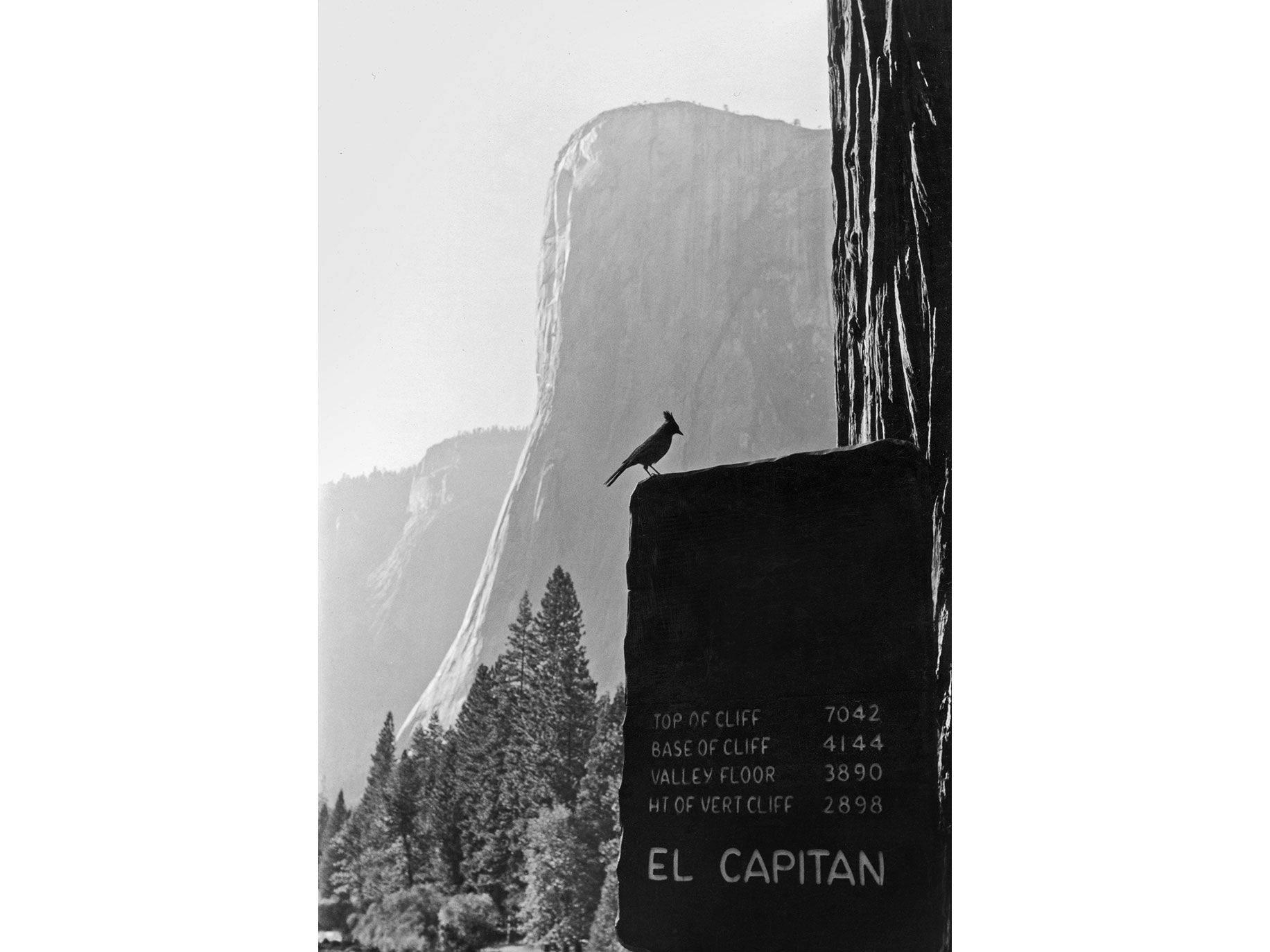 A Steller's jay on El Capitan photographed in 1960 by pioneering climber Tom Frost.
