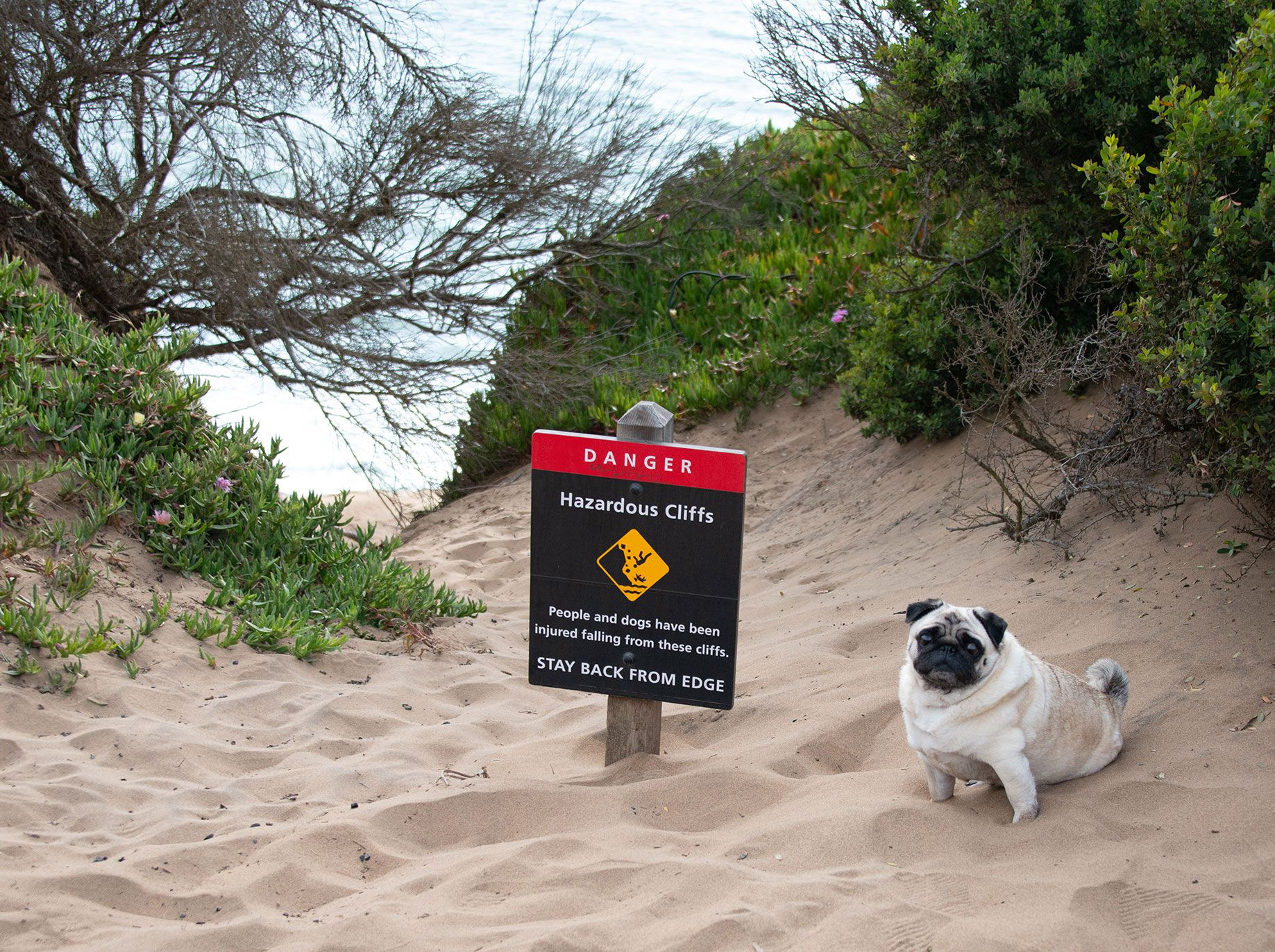 An off-leash dog is perched next to a sign warning of the cliff-side danger.