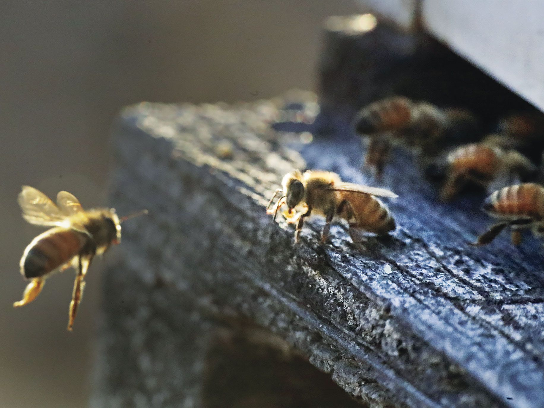 Honeybees return to their hive at an apiary in Los Banos.