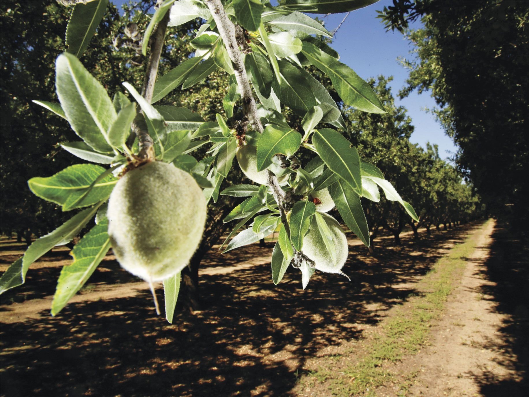 Almonds on a branch in an orchard in Fresno County. Almond growers rent bees to pollinate their crops.