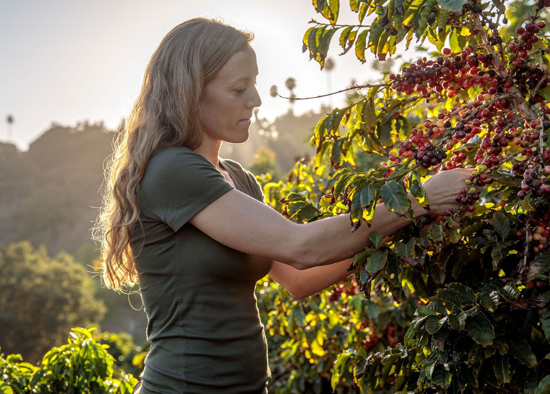 Lindsey Mesta, Frinj's co-founder and chief marketing officer, examines coffee beans on the firms' bushes.