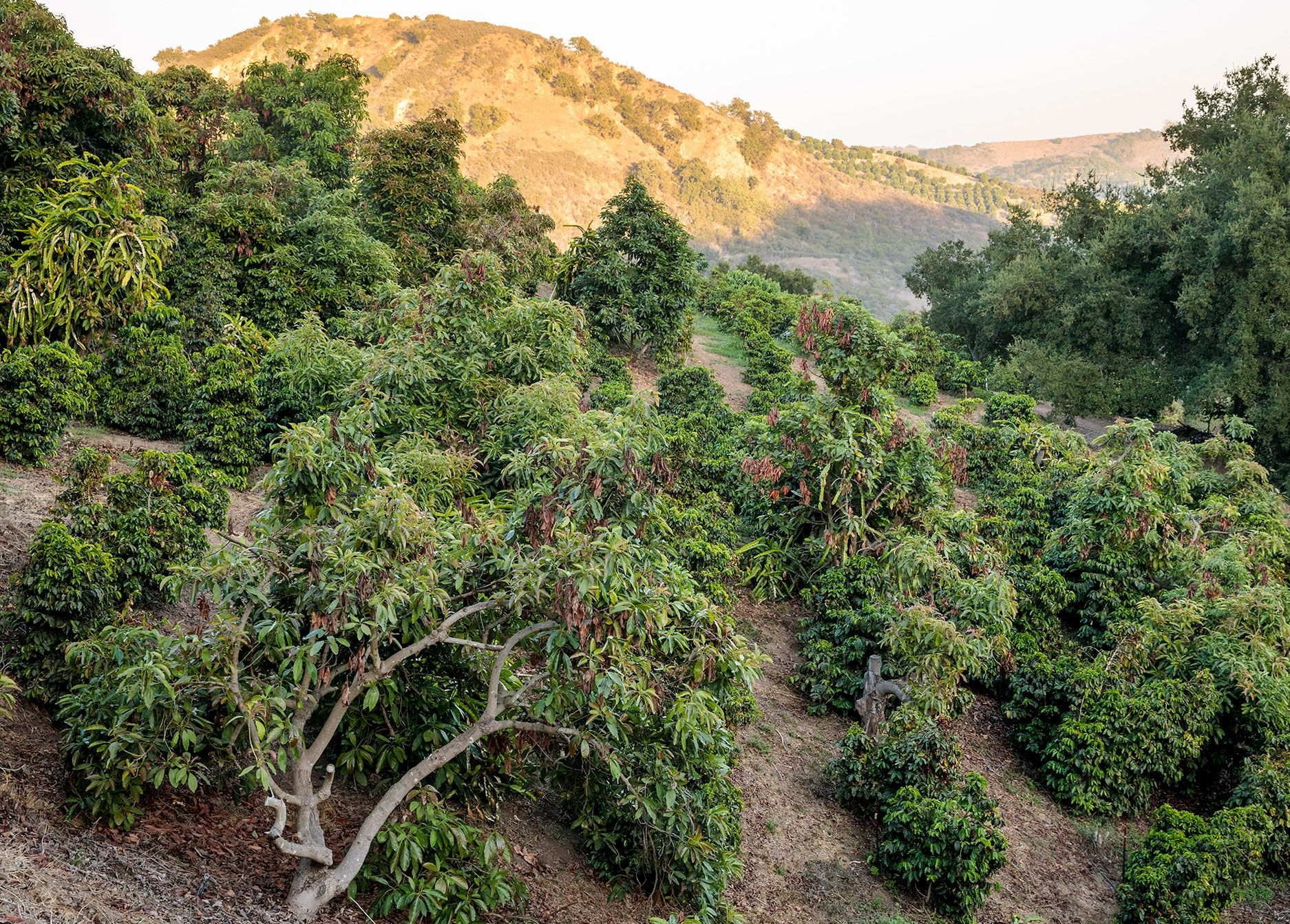 Frinj is one of several firms trying to grow coffee in Southern California.