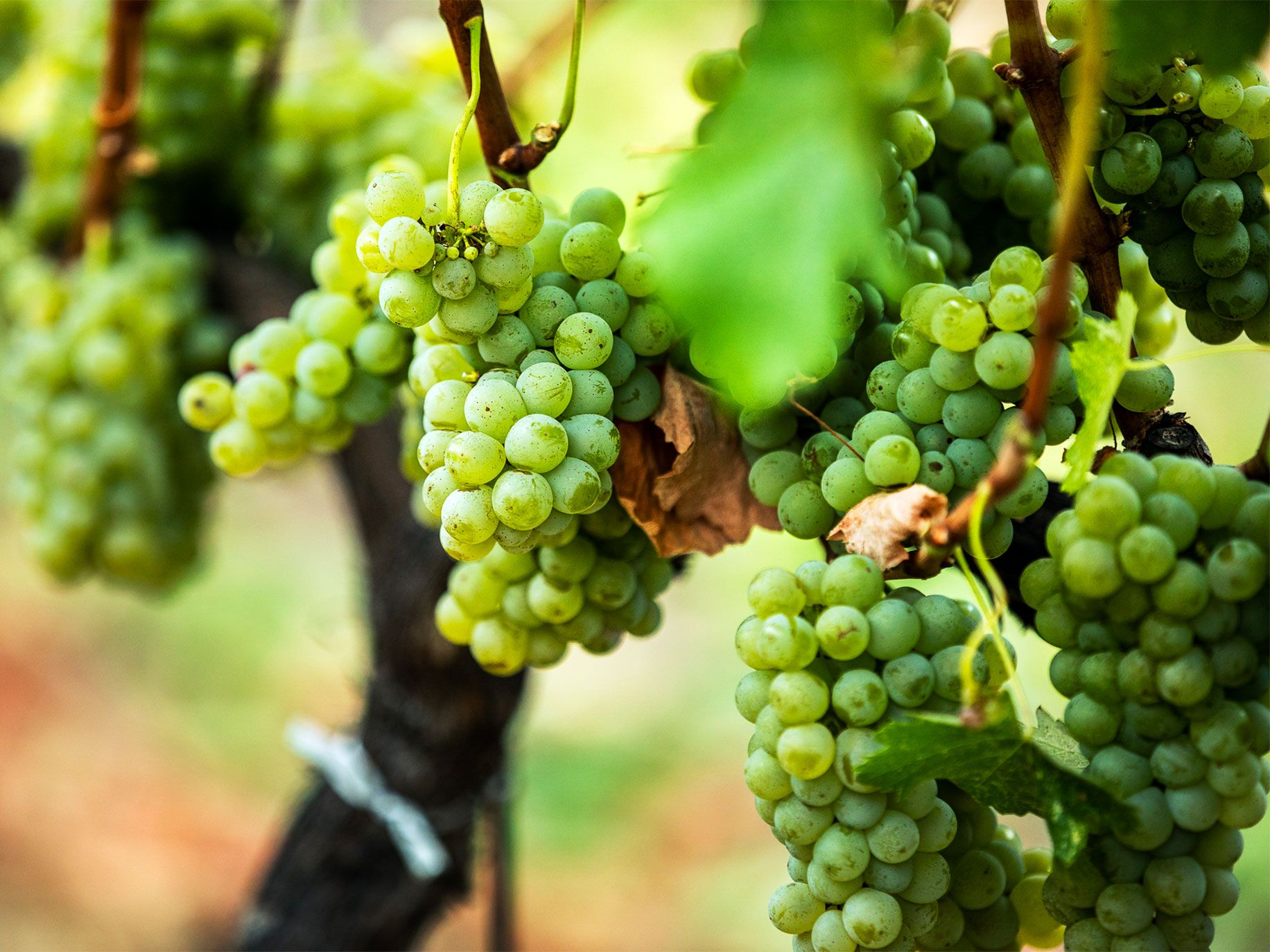 Bunches of white grapes, used in making sauvignon blanc, on the vine at Francis Ford Coppola's Inglenook winery in Napa County.