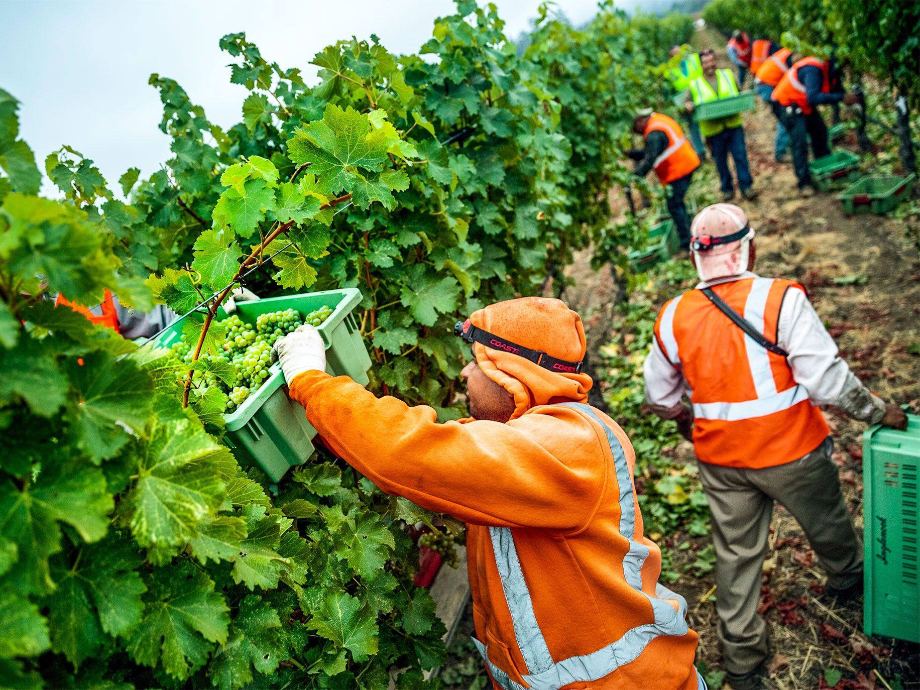 Workers at Inglenook winery in Napa Valley harvest sauvignon blanc grapes. Francis Ford Coppola and his wife, Eleanor, purchased the winery in 1975 with a goal of returning it to greatness.