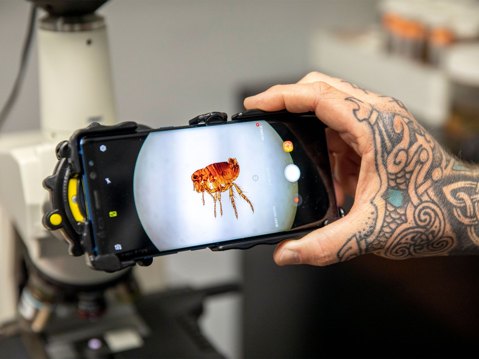 Feral cats can spread flea-borne typhus. Here a flea mounted on a slide is on display at the Orange County Mosquito and Vector Control District in Garden Grove, California.