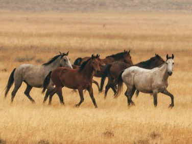 The ever-growing population of feral horses threatens the Emigrant Springs ecosystem.