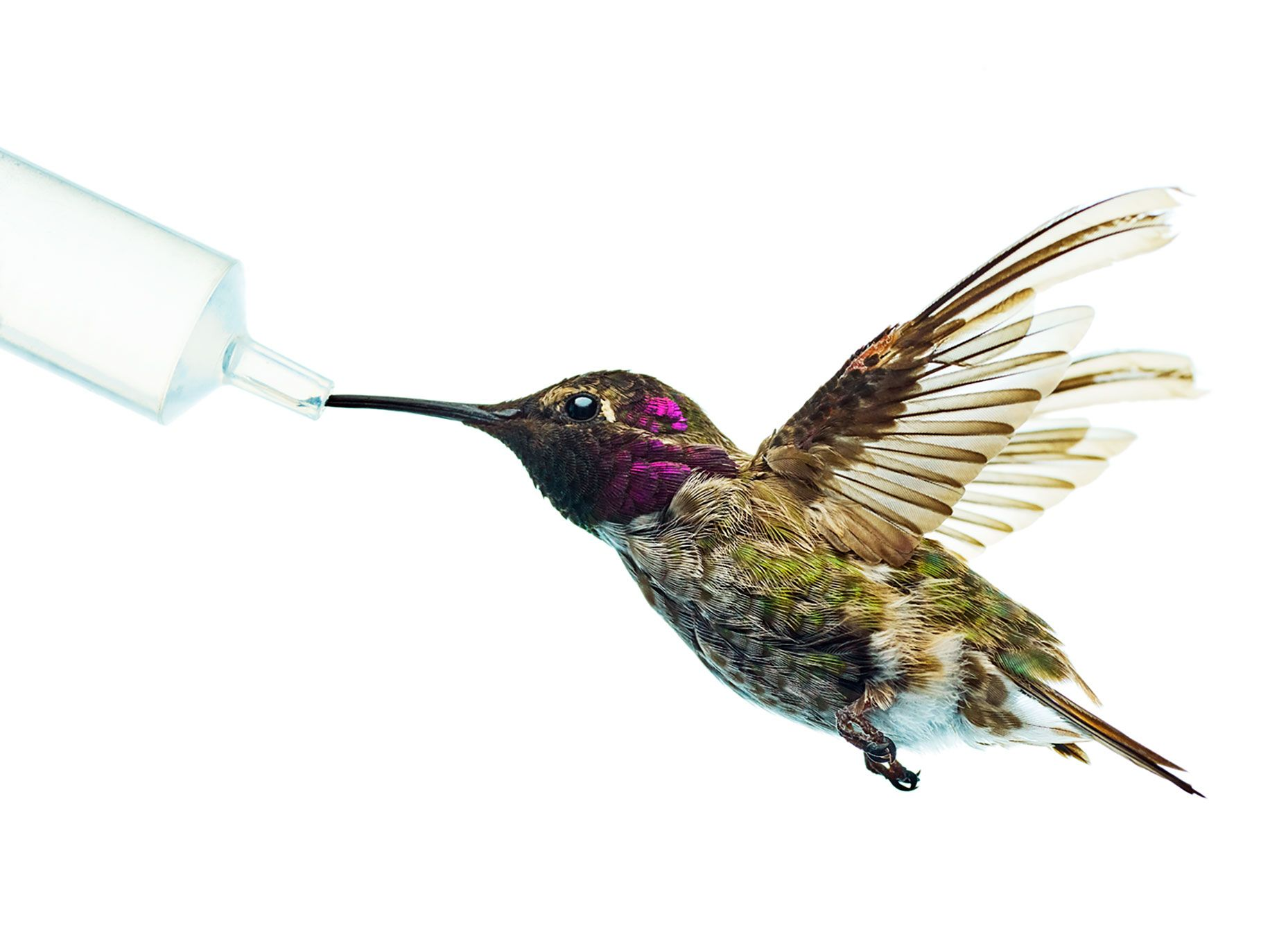 An adult male Anna's-Costa's hybrid hummingbird sips from a feeder in Chris Clark's UC Riverside laboratory.