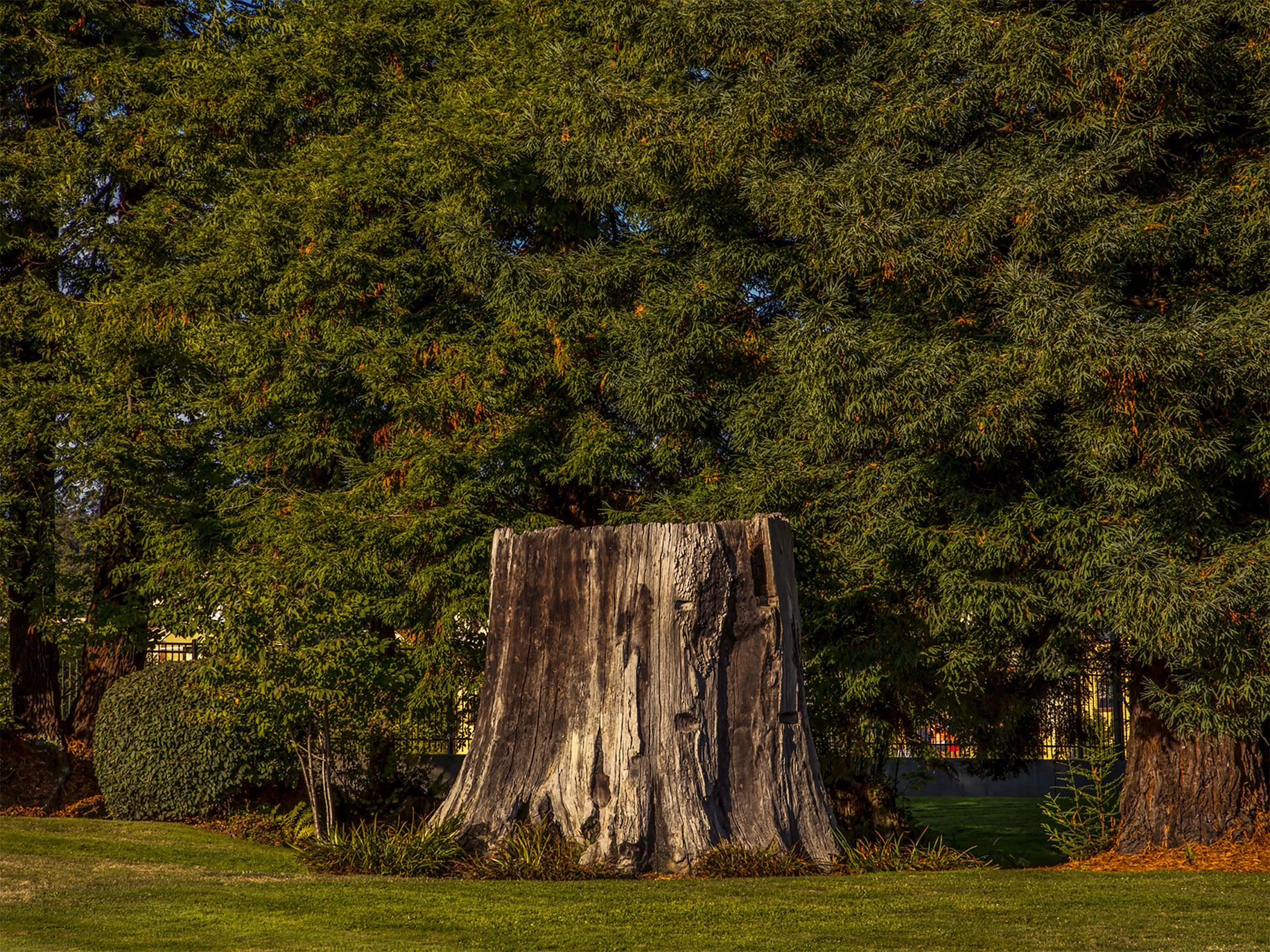 The stump of a redwood tree at Humboldt State University in Arcata.