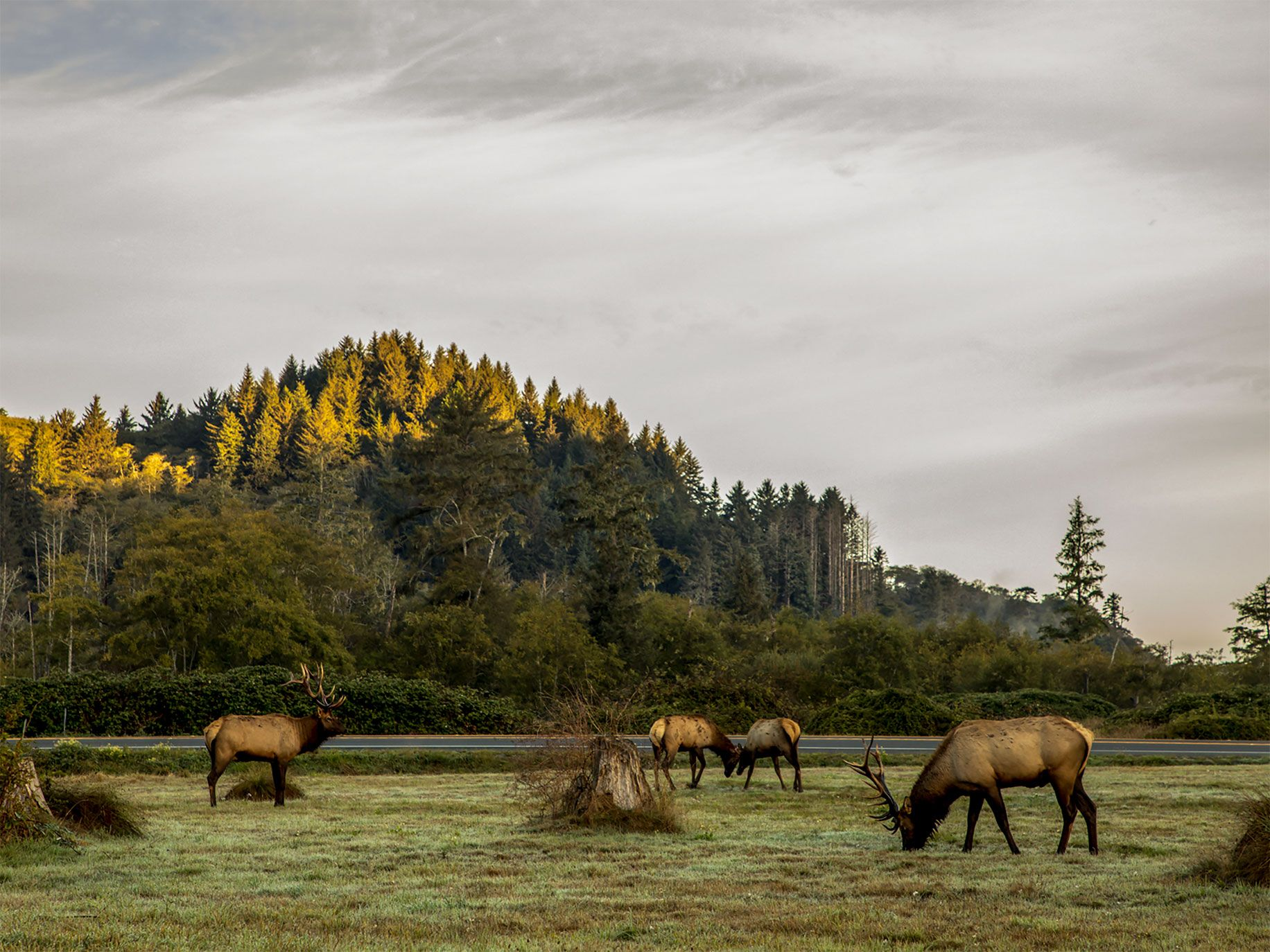 One of the world's largest herds of Roosevelt elk are native to Arcata. Here some of them graze in a meadow at the Country RV Resort and Campground in Trinidad, California.