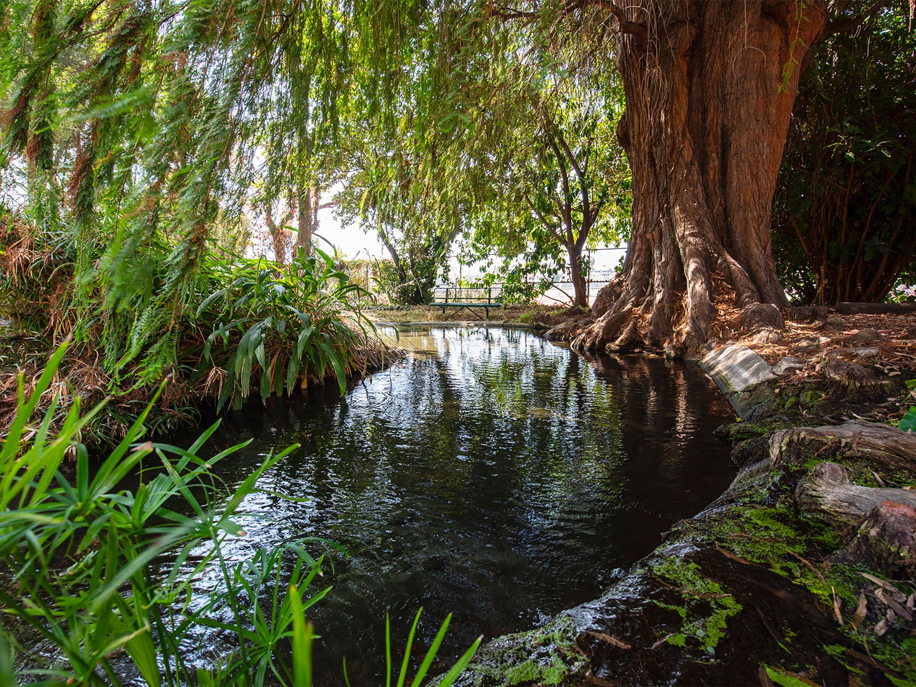 """Known as Kuruvungna, """"a place where we are in the sun,"""" this sacred spring is tucked away on the campus of University High School Charter on the Westside of Los Angeles. A Spanish cypress, planted by the Portolá expedition, watches over a brook with crawdads and mosquito fish."""