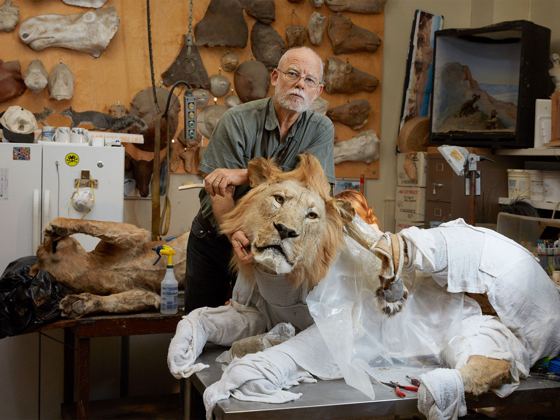 Taxidermist Tim Bovard in his workshop at the Natural History Museum in Los Angeles. Damp towels help keep the recently defrosted Tanzanian lion skins supple and malleable.