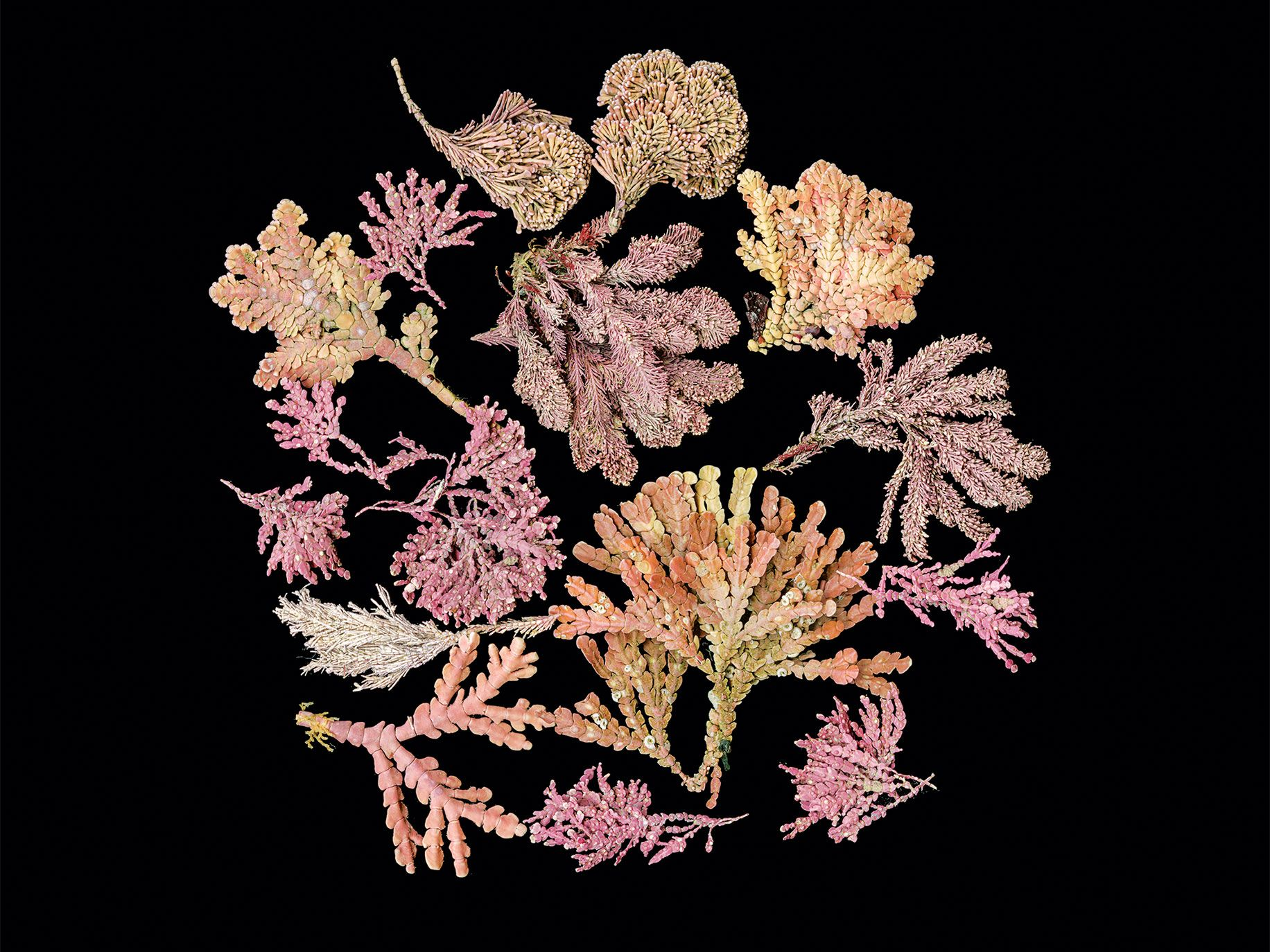 Articulated red coralline algae, various types.