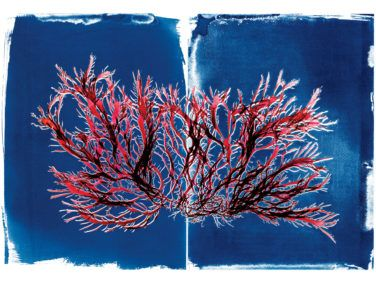 Cyanotype of Pikea californica (Pike's weed) with scan of same.