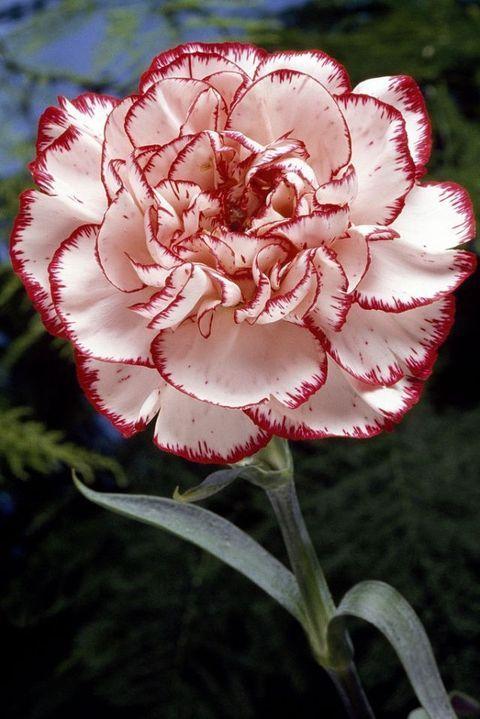 Flower, Flowering plant, Pink, Petal, Plant, Carnation, Red, Botany, Dianthus, Pink family,