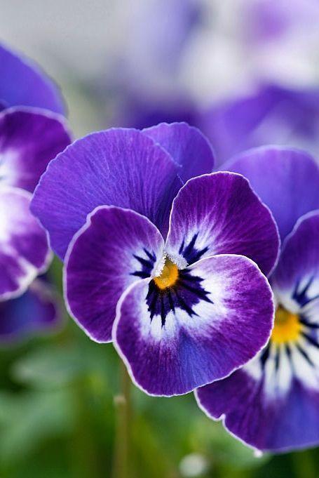 Flower, Flowering plant, Petal, Violet, Pansy, Purple, Plant, wild pansy, Viola, Violet family,