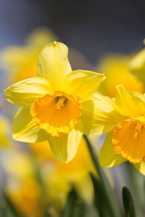 Flower, Flowering plant, Yellow, Petal, Narcissus, Plant, Close-up, Spring, Sky, Botany,