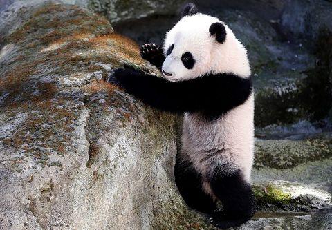 Panda, Mammal, Vertebrate, Terrestrial animal, Nature reserve, Snout, Bear, Carnivore, Adaptation, Organism,