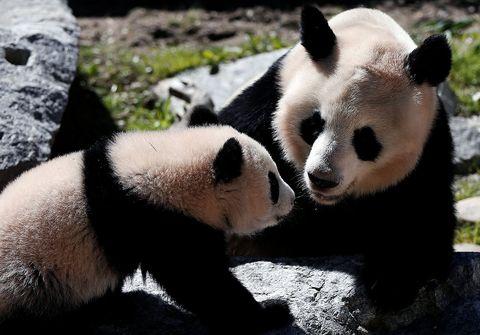 Panda, Mammal, Vertebrate, Terrestrial animal, Nose, Nature reserve, Snout, Bear, Wilderness, Fur,