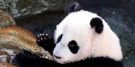 Panda, Mammal, Vertebrate, Terrestrial animal, Bear, Snout, Nose, Carnivore, Fur, Adaptation,
