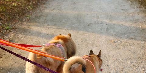 Dog breed, Dog, Carnivore, Vertebrate, Mammal, Sporting Group, Collar, Leash, Working animal, Fawn,