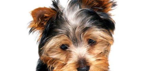 Brown, Dog breed, Dog, Vertebrate, Carnivore, Small terrier, Terrier, Snout, Toy dog, Australian terrier,