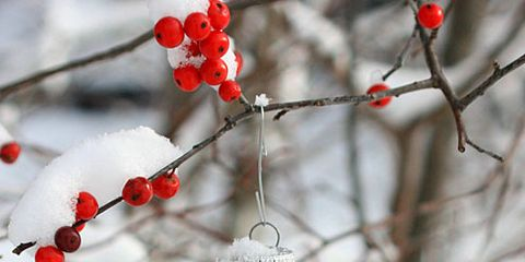 Branch, Winter, Twig, Red, Carmine, Christmas ornament, Holiday ornament, Christmas decoration, Fruit, Ornament,