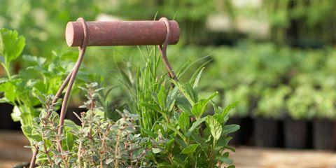 Flowerpot, Herb, Houseplant, Annual plant,