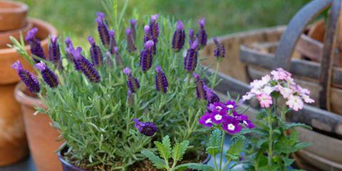 Flowerpot, Plant, Flower, Purple, Garden, Botany, Flowering plant, Lavender, Annual plant, Houseplant,