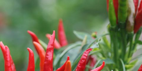 Ingredient, Red, Bird's eye chili, Spice, Produce, Malagueta pepper, Bell peppers and chili peppers, Chili pepper, Carmine, Flowering plant,