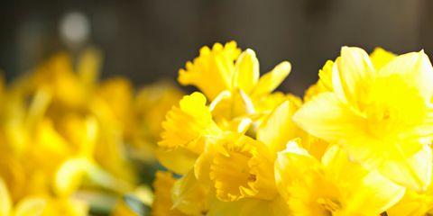 Petal, Yellow, Flower, Botany, Floristry, Flowering plant, Flower Arranging, Narcissus, Floral design, Plant stem,