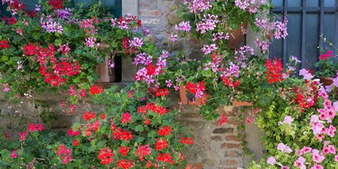 Flowerpot, Plant, Flower, Shrub, Petal, Garden, Magenta, Annual plant, Groundcover, Houseplant,