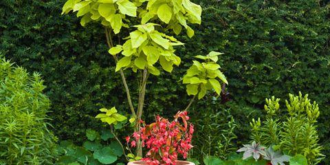 Plant, Shrub, Garden, Furniture, Groundcover, Flowerpot, Outdoor furniture, Annual plant, Yard, Coquelicot,