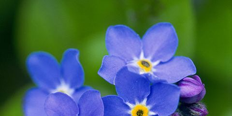 Blue, Forget-me-not, Plant, Flower, Water forget me not, Petal, alpine forget-me-not, Flowering plant, Violet, Terrestrial plant,