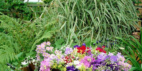 Plant, Shrub, Flower, Petal, Garden, Flowerpot, Purple, Groundcover, Annual plant, Flowering plant,