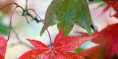 Leaf, Red, Woody plant, Botany, Carmine, Beauty, Colorfulness, Close-up, Coquelicot, Annual plant,