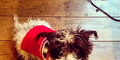 Wood, Dog breed, Dog, Carnivore, Hardwood, Wood stain, Flooring, Wood flooring, Dog supply, Dog clothes,