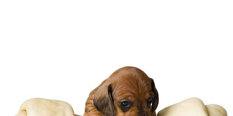 Dog breed, Brown, Dog, Carnivore, Tan, Puppy, Dog supply, Working animal, Liver, Fawn,
