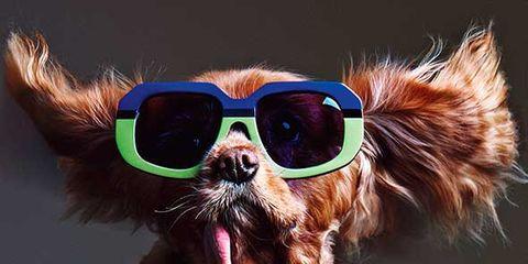 Eyewear, Goggles, Vision care, Dog breed, Brown, Sunglasses, Dog, Vertebrate, Carnivore, Collar,