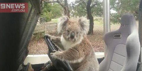 Motor vehicle, Adaptation, Woody plant, Carnivore, Terrestrial animal, Koala, Car seat, Windshield, Stuffed toy, Car seat cover,
