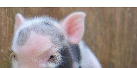 Grass, Skin, Pink, Domestic pig, Suidae, Snout, Iris, Terrestrial animal, Livestock, Fawn,