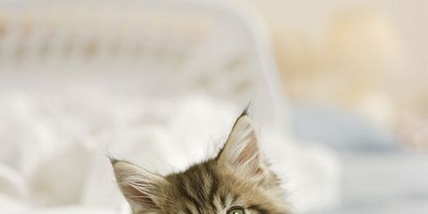 Whiskers, Small to medium-sized cats, Felidae, Carnivore, Cat, Kitten, Comfort, Beige, Snout, Fawn,