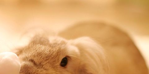Brown, Skin, Rabbit, Rabbits and Hares, Organ, Whiskers, Nail, Snout, Beige, Fawn,