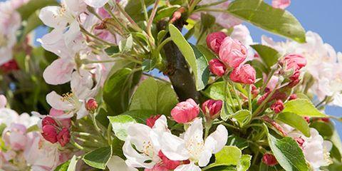 Petal, Flower, Pink, Spring, Blossom, Malus, Pollen, Perennial plant, Arctostaphylos, Cornales,