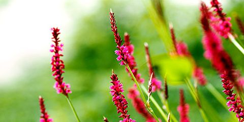 Flower, Red, Magenta, Pink, Terrestrial plant, Maroon, Flowering plant, Annual plant, Coquelicot, Plant stem,